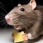 Крысы - грызущие вредители!