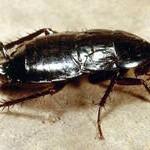 Домашние тараканы: знай врага в лицо!