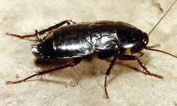 Чем опасны тараканы: самые злостные вредители